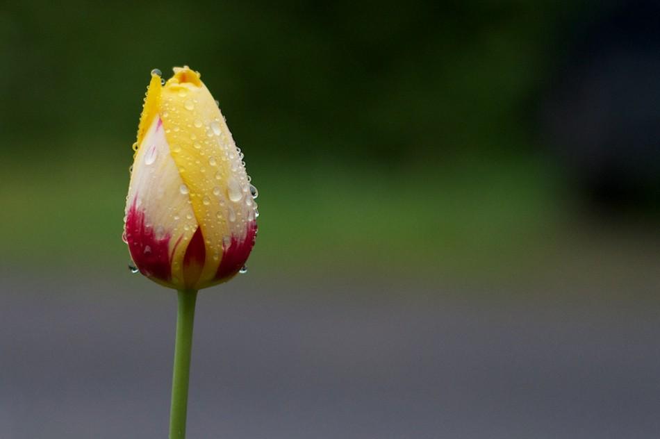 A Wet Tulip