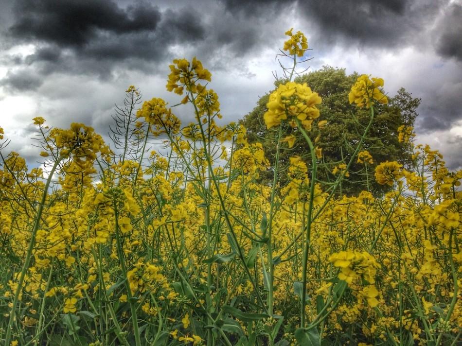 Fields of Yellow Joy
