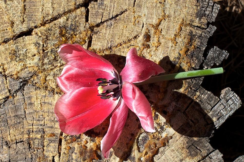 Tulip on Stump, Still Life Number 42