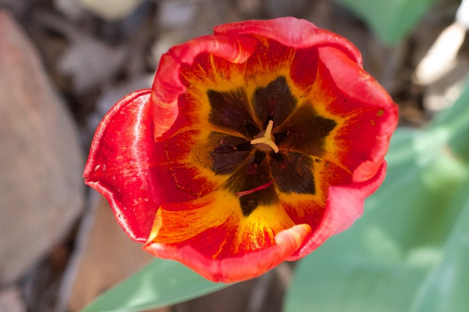 My Best Tulip