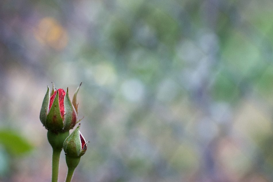 Bud and Bokeh
