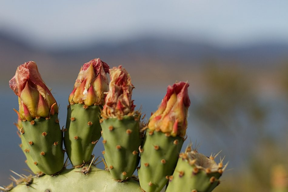 Four out of Five Prickly Pear Flowers Surveyed...