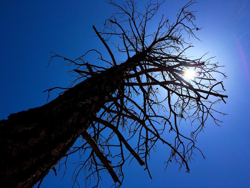 Ponderosa Pine Under a Noon Sun
