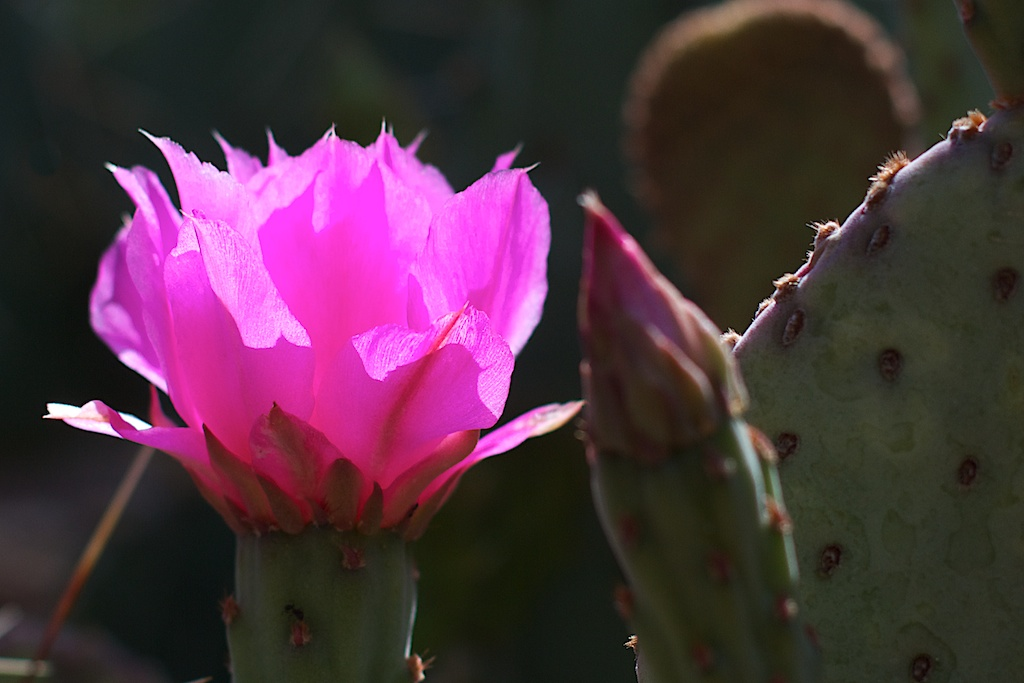 Glowing Beavertail Cactus Flower
