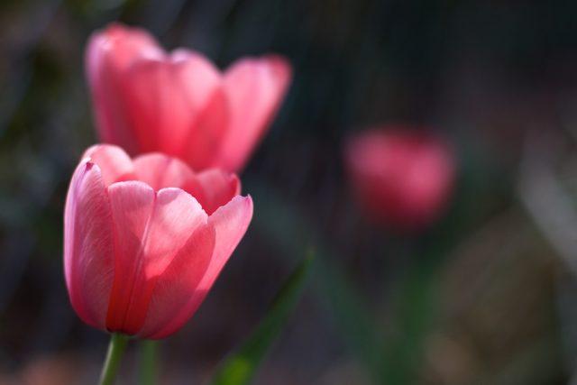 Good Morning Tulips