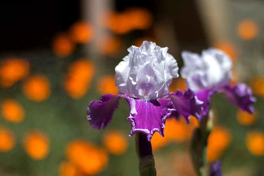 Two Irises and a Whole Lotta Poppies